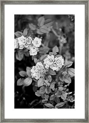 Roses On Trix Framed Print by Andrew Broekhuijsen