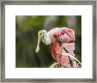 Framed Print featuring the photograph Rosette Spoonbill Wings by Paula Porterfield-Izzo