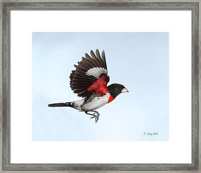 Rosie The Grosbeak Framed Print by Gerry Sibell