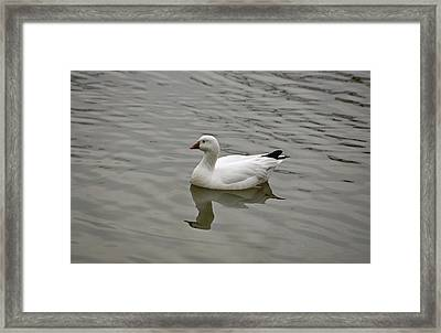 Framed Print featuring the photograph Ross's Goose by Sandy Keeton
