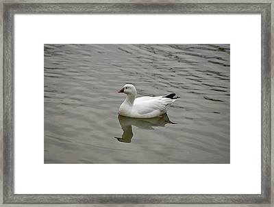 Ross's Goose Framed Print