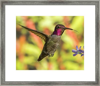 Rosy Cheeks Framed Print