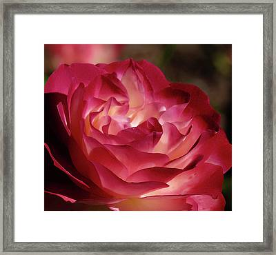Rosy Closeup Framed Print