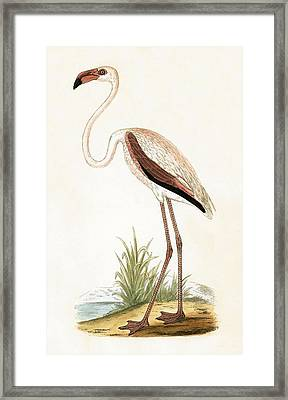 Rosy Flamingo Framed Print by English School