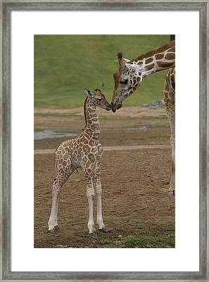Framed Print featuring the photograph Rothschild Giraffe Giraffa by San Diego Zoo