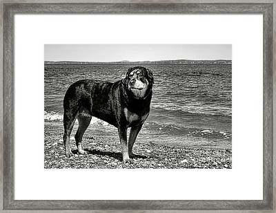 Rottweiler At The Shore Framed Print