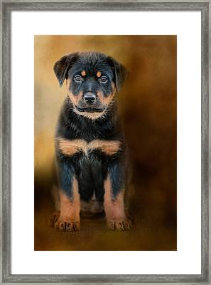 Rottweiler Puppy Framed Print by Jai Johnson
