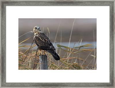 Rough-legged Hawk - Fence Sitting Framed Print by Jestephotography Ltd