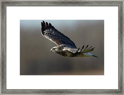 Rough-legged Hawk - Glide Framed Print by Jestephotography Ltd