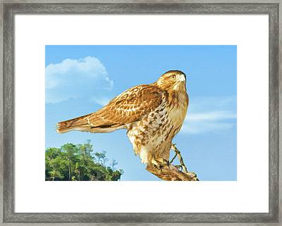 Rough-legged Perch Framed Print by Delores Knowles