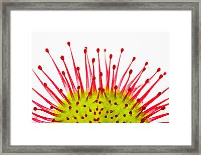 Round-leaved Sundew Drosera Rotundifolia Framed Print