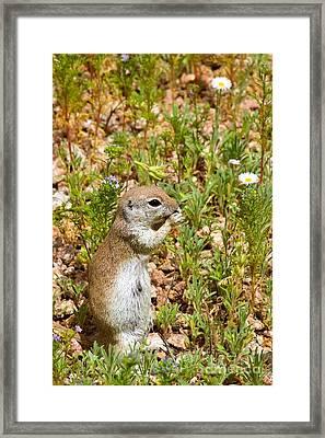 Round-tailed Ground Squirrel Framed Print