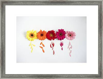 Row Of Gerbera Daisies On White Background Framed Print