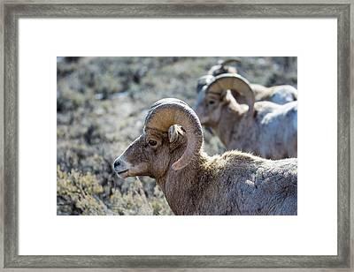 Row Of Sheep Framed Print