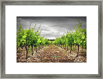 Row Of Vineyard Framed Print by Ellen van Bodegom