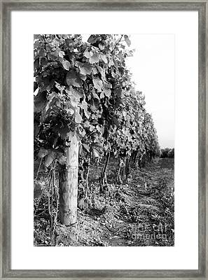 Row Of Wine Grapes Framed Print by Scott Pellegrin