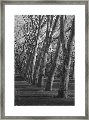 Row Trees Framed Print