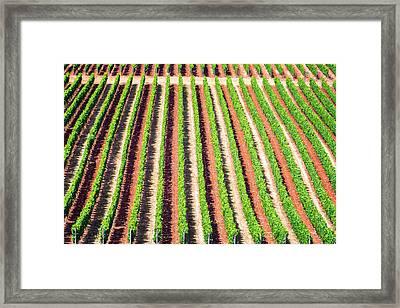 Rows Of Grape Vines Framed Print by Jess Kraft
