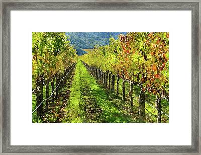 Rows Of Grapevines In Napa Valley Caliofnia Framed Print