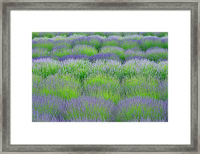 Rows Of Lavender Framed Print by Hegde Photos