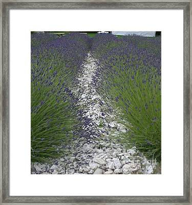 Rows Of Lavender Framed Print by Robert Torkomian