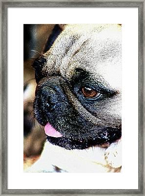 Roxy The Pug Framed Print