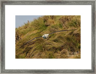 Royal Albatross 2 Framed Print by Werner Padarin