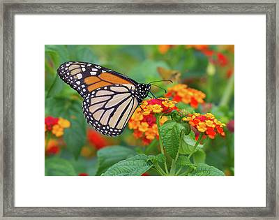 Royal Butterfly Framed Print