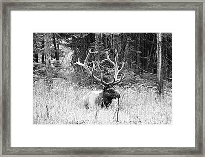 Royal Elk Framed Print by Susan Chandler