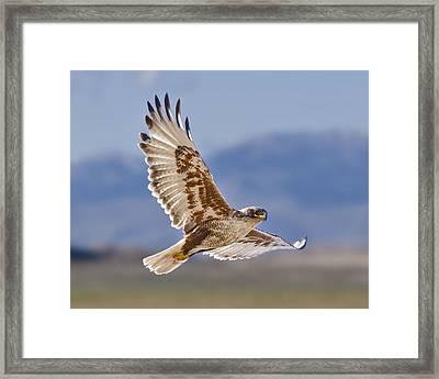 Royal Hawk Framed Print