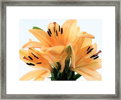 Framed Print featuring the photograph Royal Lilies Full Open - Close-up by Ray Shrewsberry
