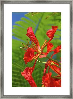 Royal Poinciana Flower Framed Print