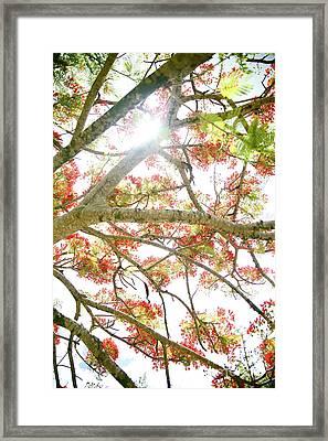 Royal Poinciana Framed Print by Kicka Witte - Printscapes