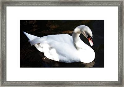 Royal Swan Framed Print