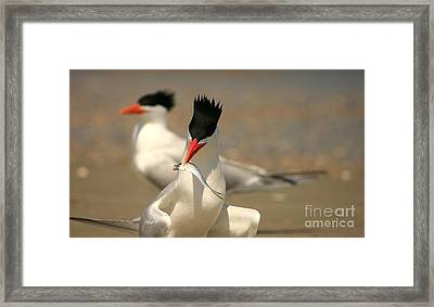 Royal Tern Catch Framed Print