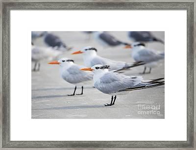 Royal Terns 7056 Framed Print