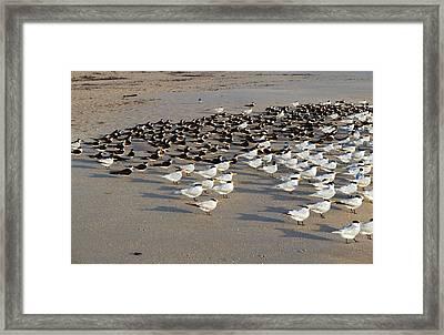 Royal Terns At Sebastian Inlet In Florida Framed Print by Allan  Hughes