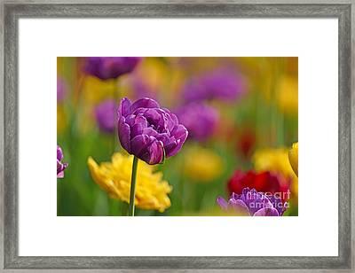 Royal Tulips Framed Print