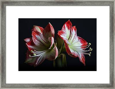 Royaldutch Framed Print