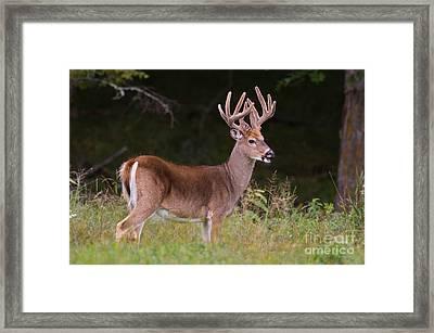 Royalty In Velvet Framed Print