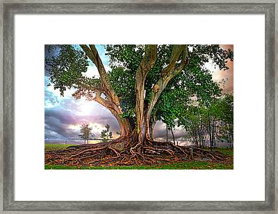 Rubber Tree Framed Print by Mal Bray