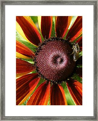 Rubeckia And Bee Framed Print by Margaret G Calenda