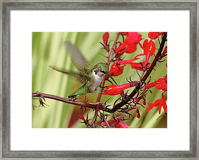 Ruby And Scarlet Framed Print by Debbie Oppermann