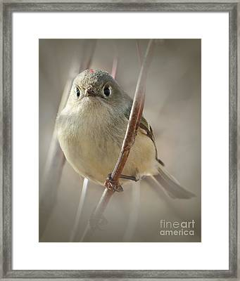 Ruby-crowned Cuteness Framed Print