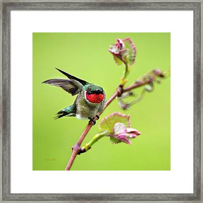 Framed Print featuring the photograph Ruby Garden Hummingbird by Christina Rollo