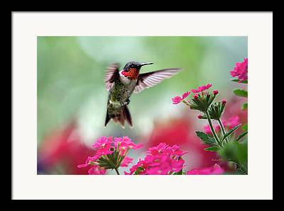 Humming Bird Framed Prints