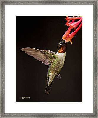 Ruby Male Framed Print by Angel Cher