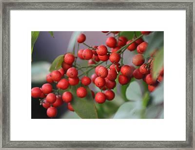 Ruby Red Berries Framed Print