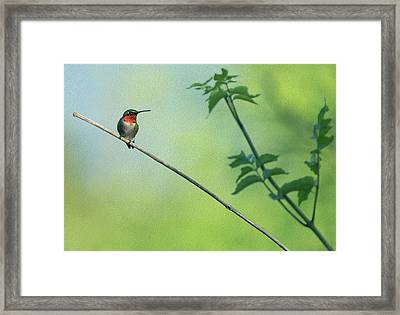 Ruby Red Perch Framed Print
