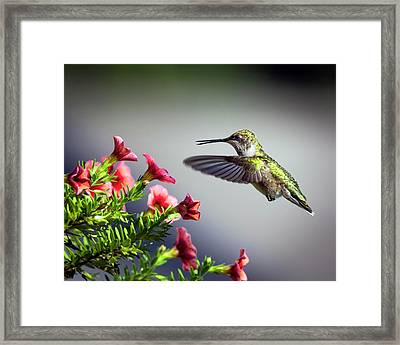 Ruby Throated Hummingbird #1 Framed Print